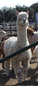 Jonquil is one of a number of dams, or mothers, to recently-born baby alpacas, or crias.
