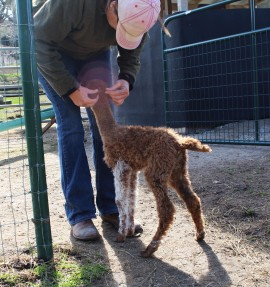 Ranch manager Jenny Thompson pets a young cria named Tito.