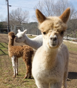 "Criterium, a male cria with a ""snowboarder personality,"" watches the camera as BenJen plays with Tito."